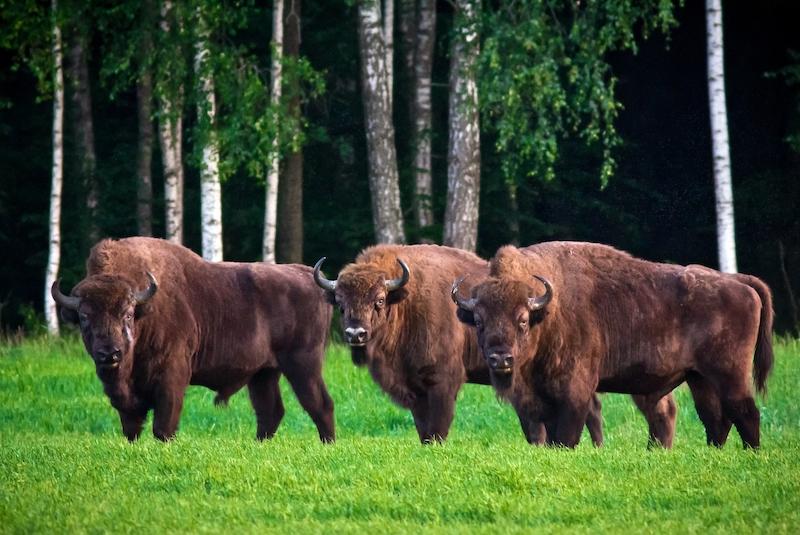 Der Nationalpark Belaweschskaja Puschtscha